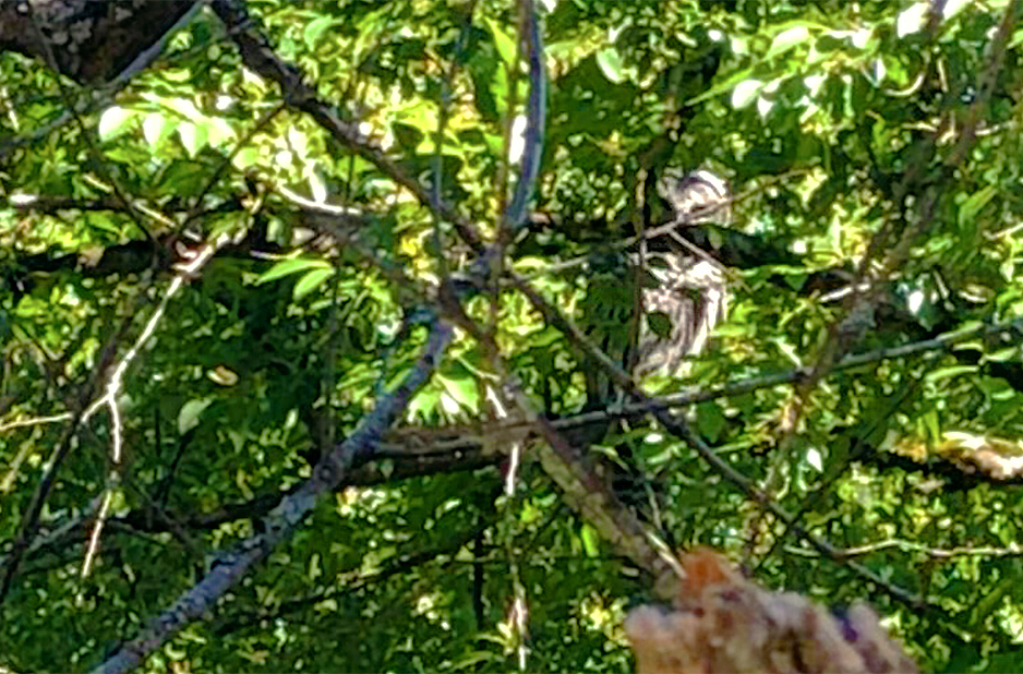 owl-in-trees-sunlight